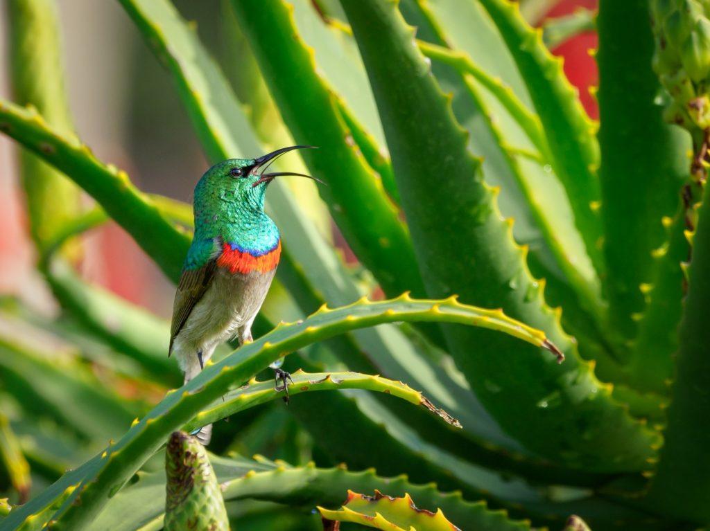 green-and-gray-bird-perching-on-aloe-vera-plant