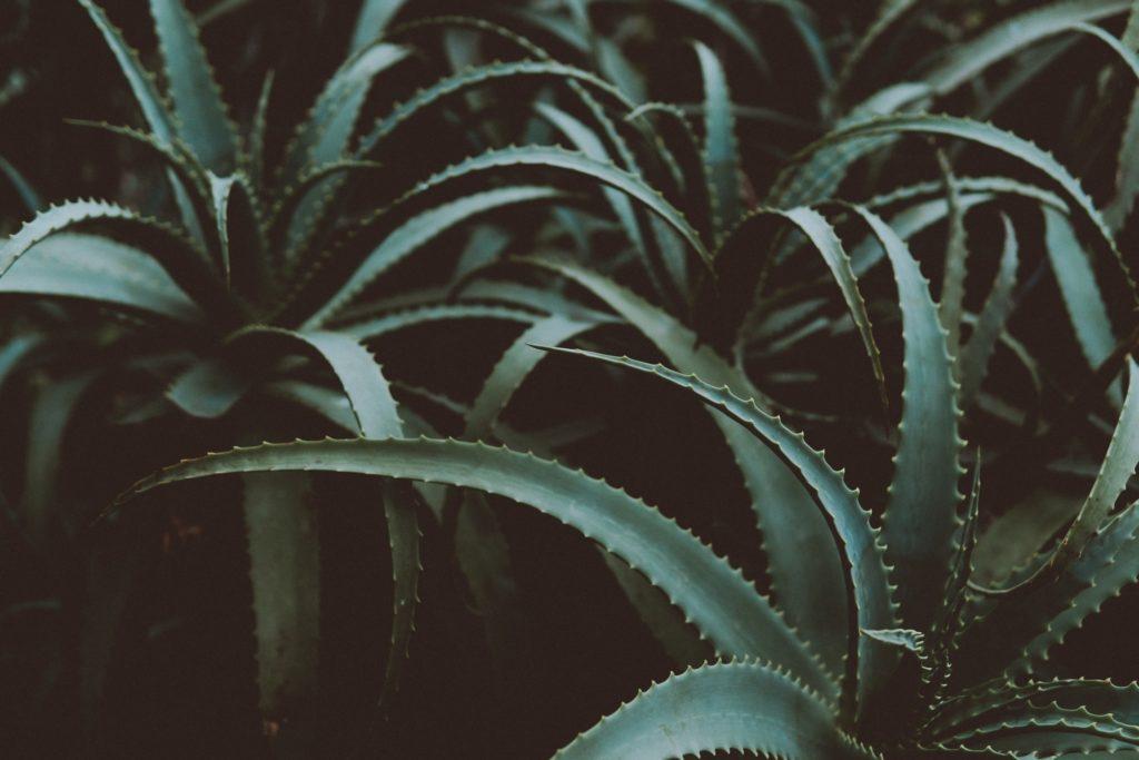 photo-of-green-aloe-vera-plants