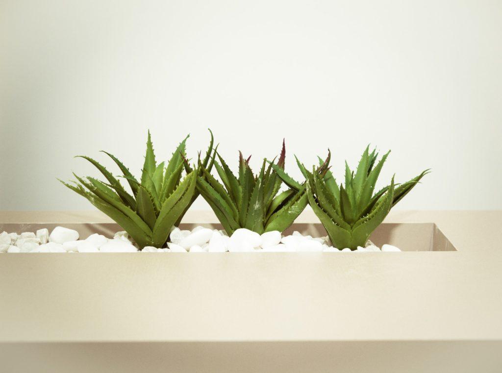 three-green-aloe-vera-plants